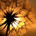 dandelion-1684903_1280